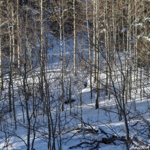 aspen trees in snow with shadows colorado
