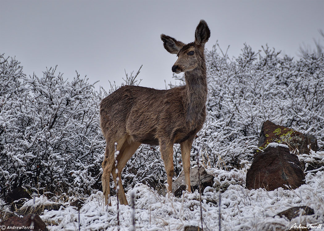 mule deer in light snow on north table mountain mesa golden colorado