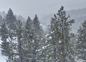 snowstorm and pine trees in golden gate canyon state park colorado