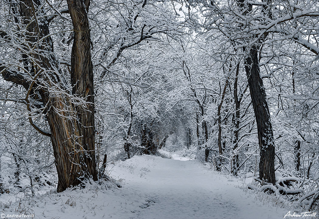 unbroken snow on trail between trees in golden colorado