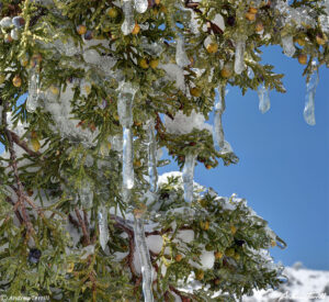 close up of juniper with icicles near Golden colorado foothills april 2021
