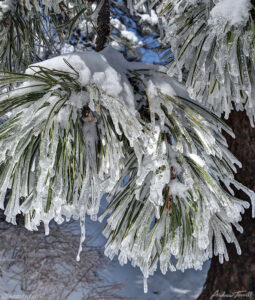 ice icicles and snow on ponderosa tree needles colorado april 2021