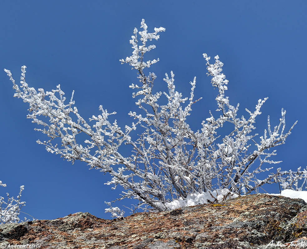 mountain mahogany encased in ice colorado april 2021