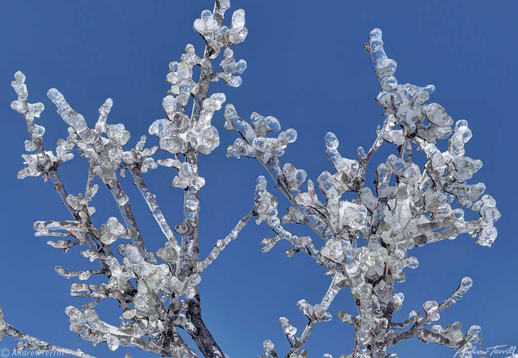 mountain mahogany twigs encased in ice colorado april 2021