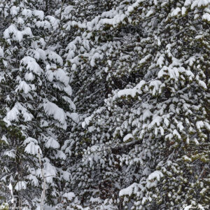 winter pine trees snow colorado