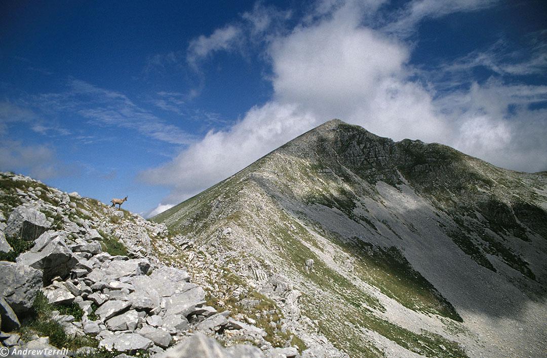 chamois on la meta ridge abruzzo national park apennines italy