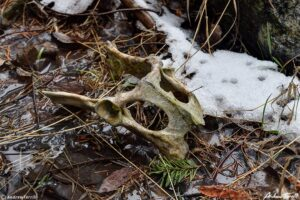 old mule deer skull on forest floor with snow and puddle colorado wilderness