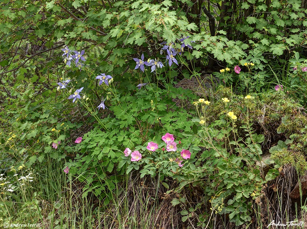 columbine and roses in wild colorado forest