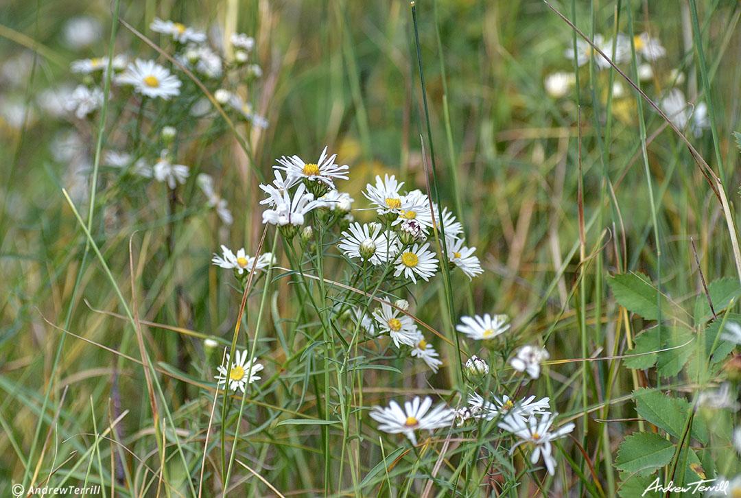 daisies in meadow colorado late summer