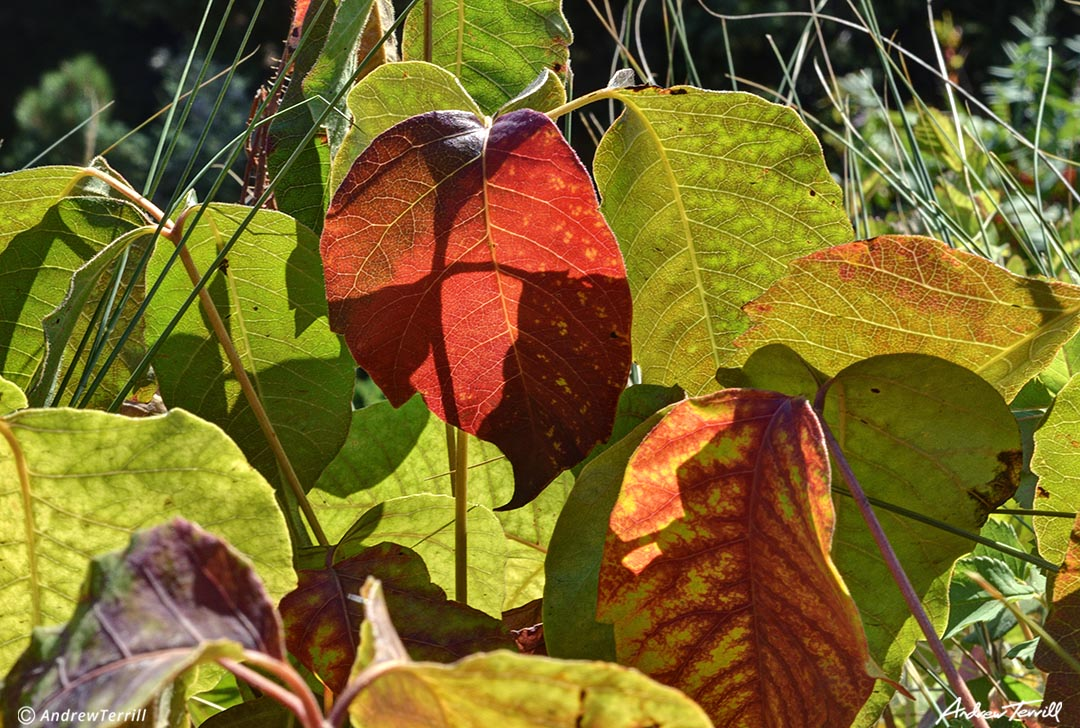 poison ivy leaves turning red autumn fall late summer