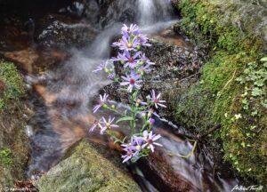 purple asters growing in creek colorado august