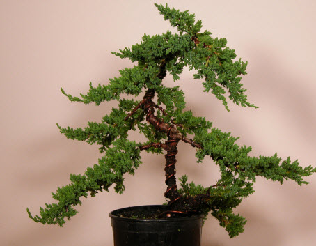Bonsai Advice For Beginners Bonsai Learning Center