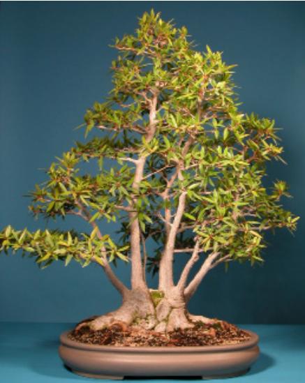 Willow Leaf Fig Ficus Salicifolia Nerifolia Bonsai Learning Center