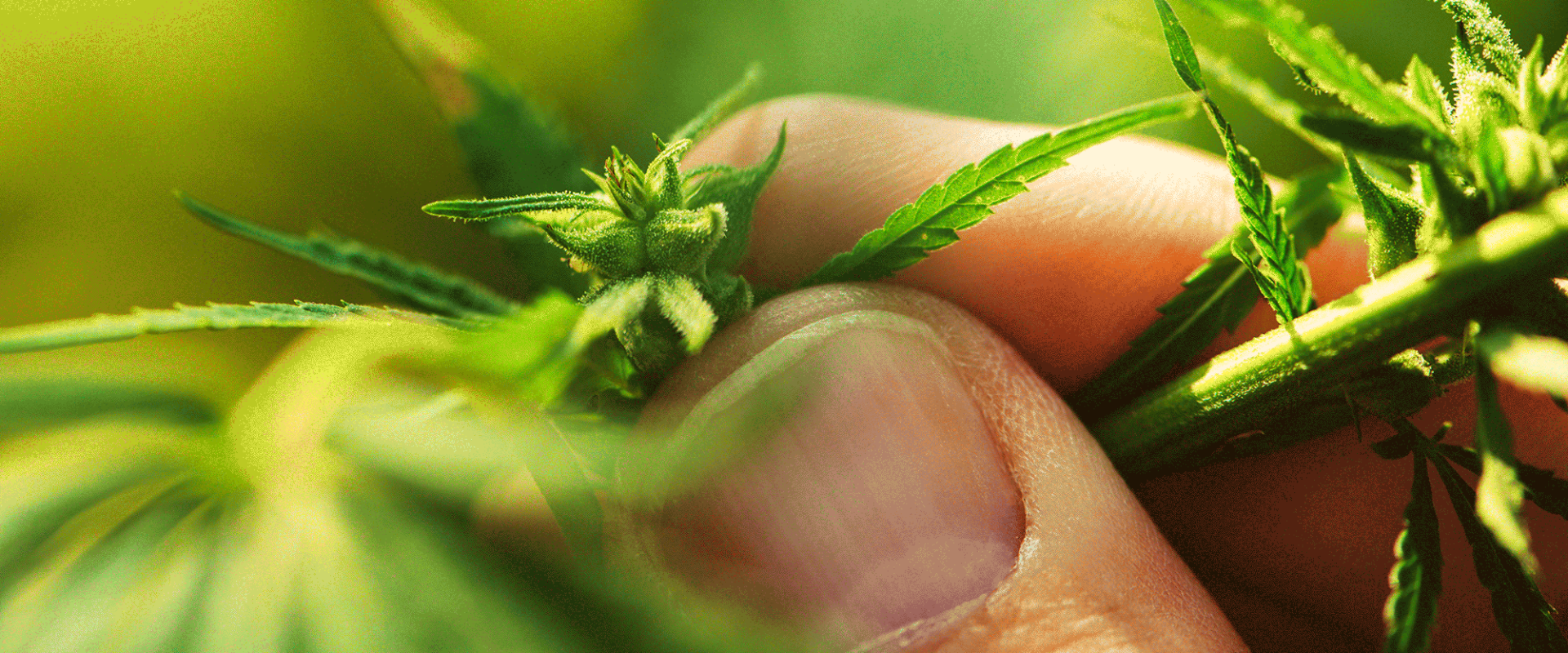 CBD and CBG can help you relax without the THC psychoactive part of the marijuana plant.