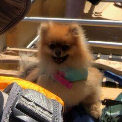 Pomeranian - Wenonah Escape Canoe