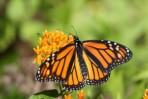 Butterfly Milkweed (Asclepias tuberosa)