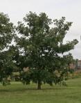 Bur Oak (Quercus macrocarpa)