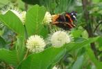 Buttonbush(Cephalanthus occidentalis)