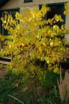 Spicebush (Lindera benzoin) *Limited supply