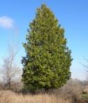 White Cedar (Thuja occidentalis)
