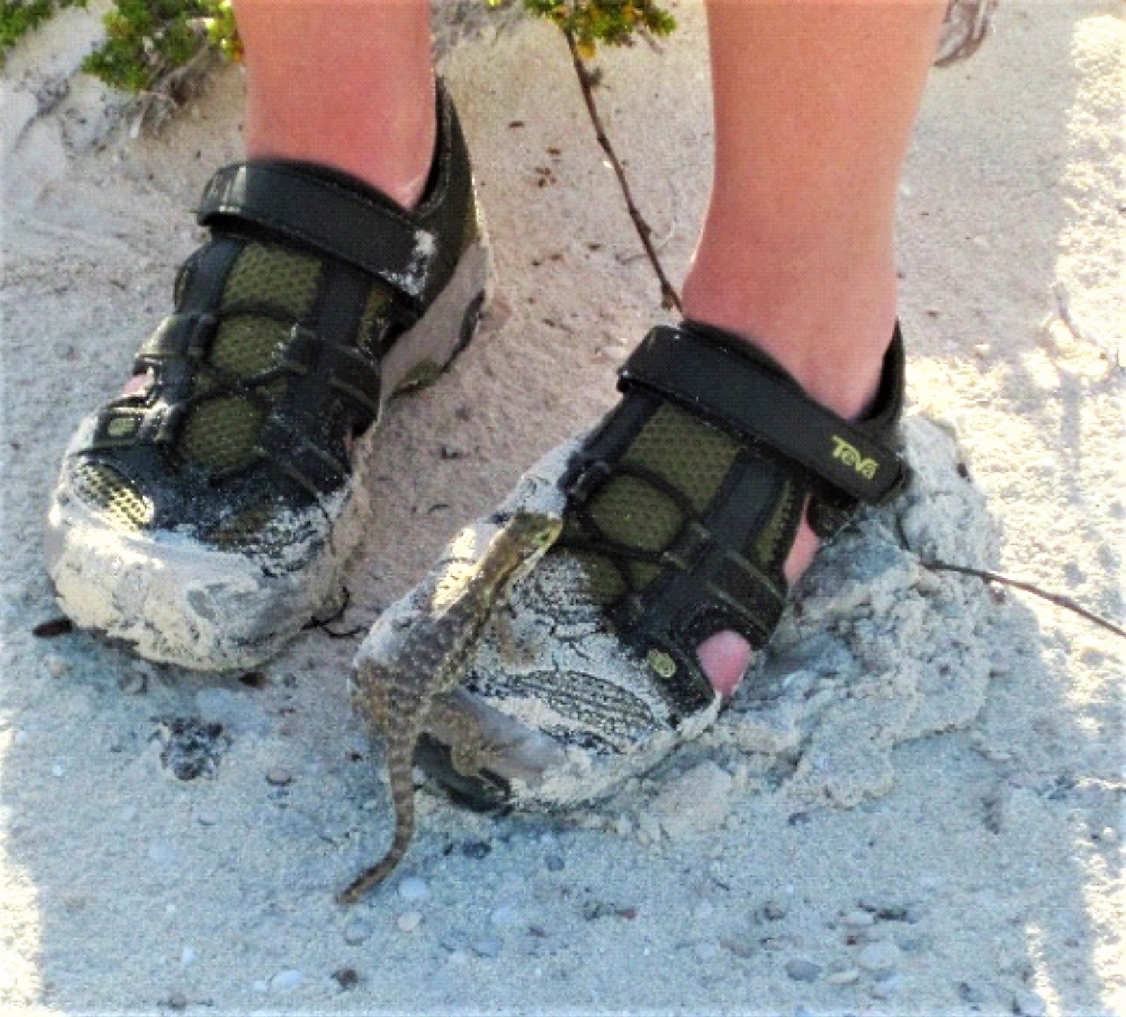 A Bahamian curly-tail lizard climbs onto a human shoe on a beach