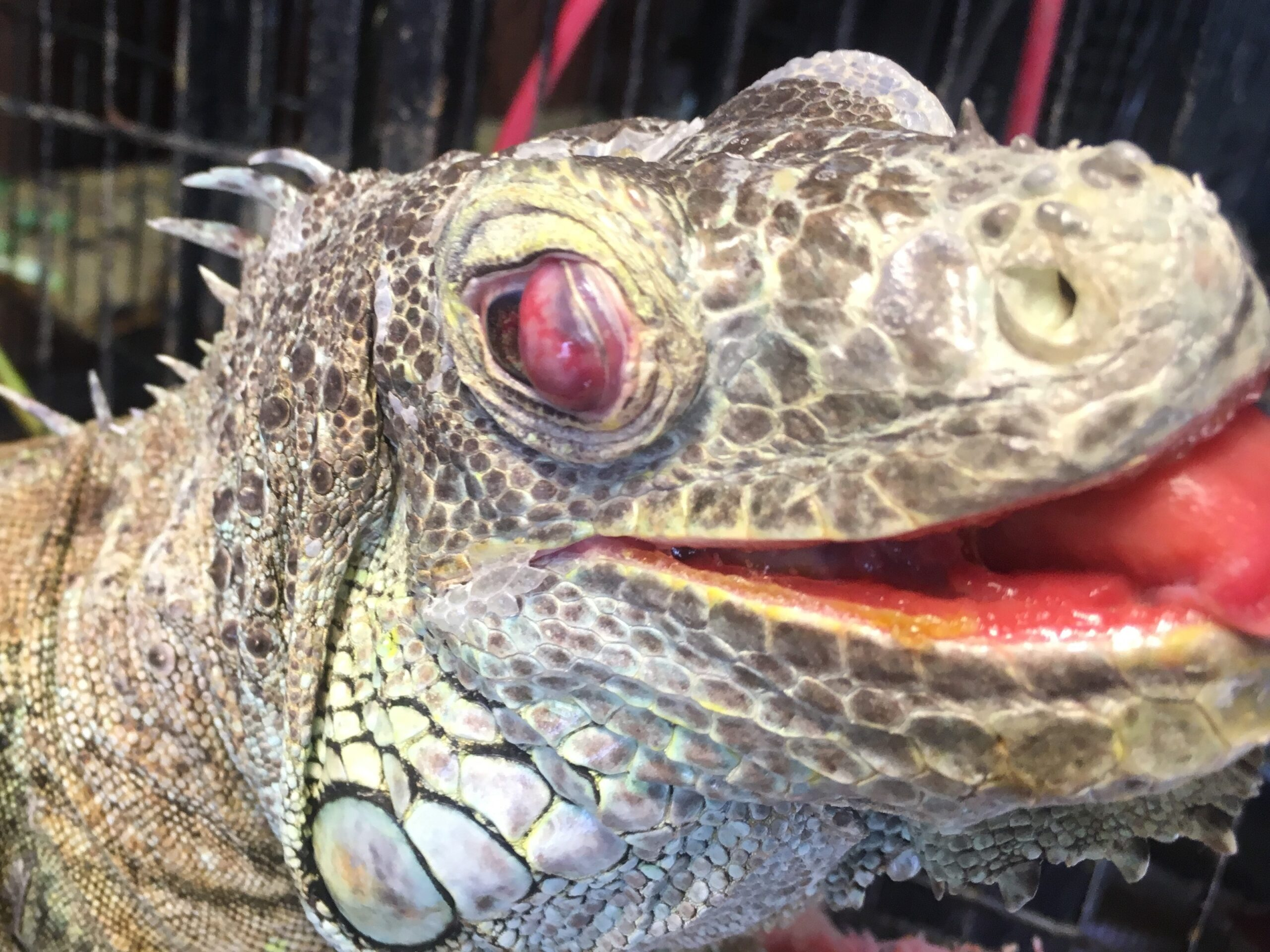 The swollen eye of a green iguana with high blood pressure