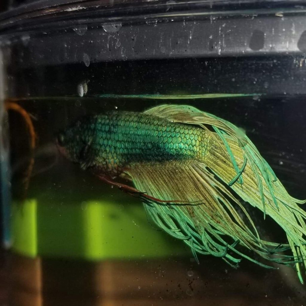 A dying betta fish
