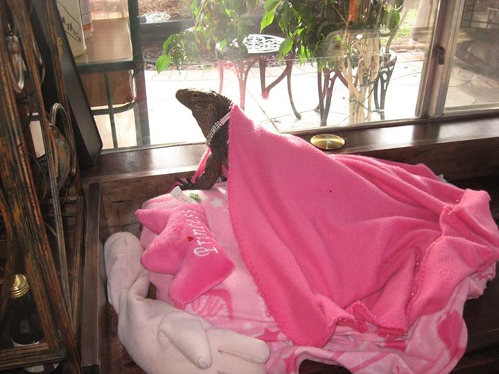 A rock iguana on a pink Princess bed near a window, covered in a pink blanket.