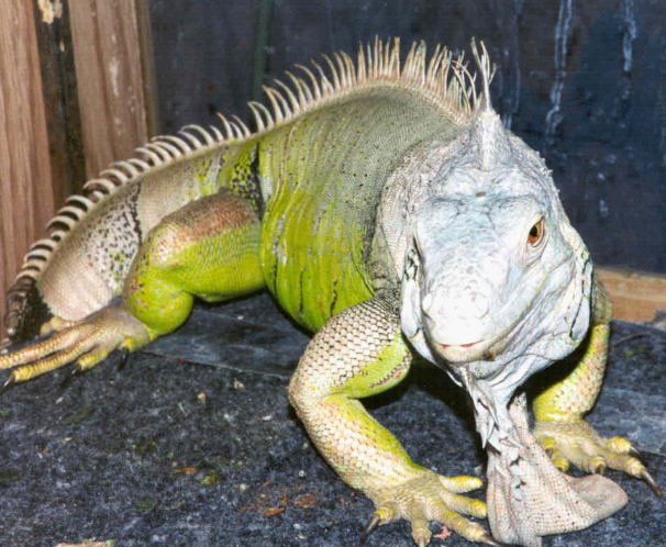 Green Iguana, Algae, on an enclosure.