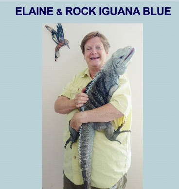 A woman holds a five-foot rock iguana in her living room