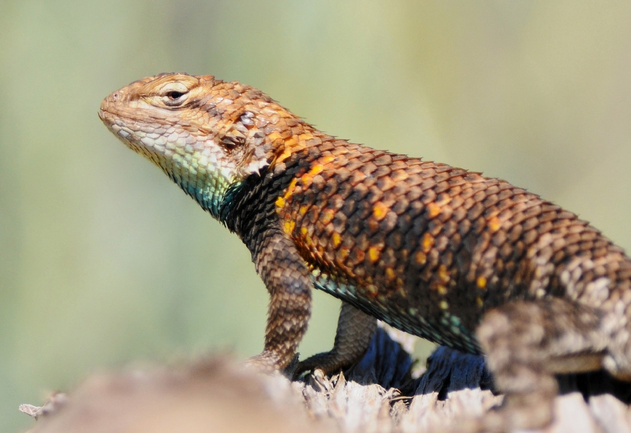 image of desert spiny lizard on a rock