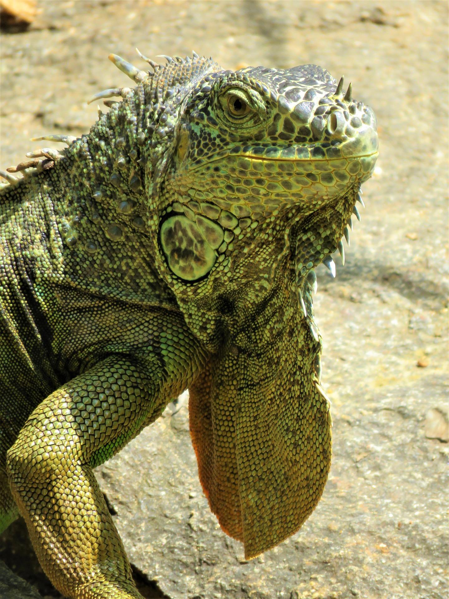 close up of iguana face, feet on road