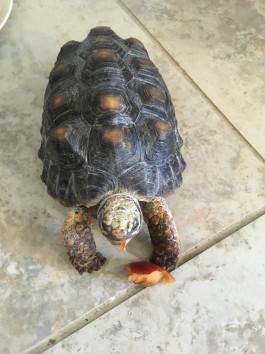 Rain forest tortoise eating nectarine
