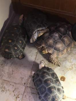 several tortoises fighting for space in a corner of a room