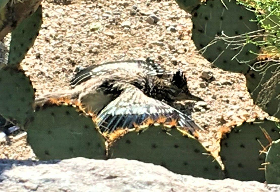 roadrunner in sonoran desert wings spread