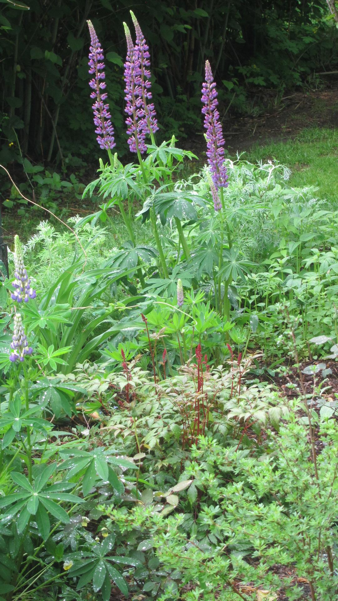 Lupine photo in vermont garden