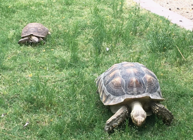 Small tortoise chases large tortoise away