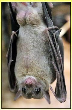 image of a fruit bat hanging upsidedown