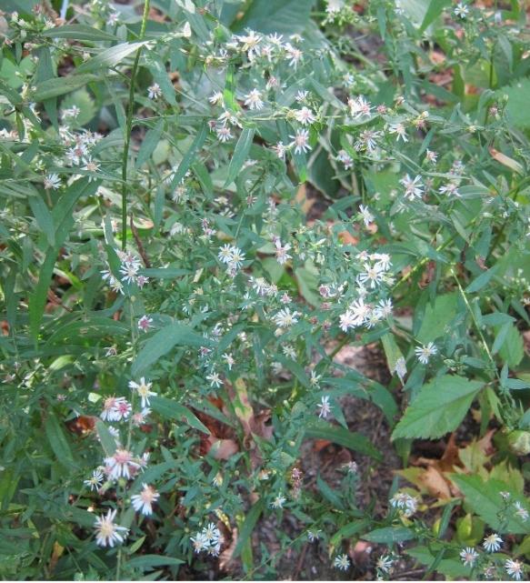 photo os wild white aster flowers