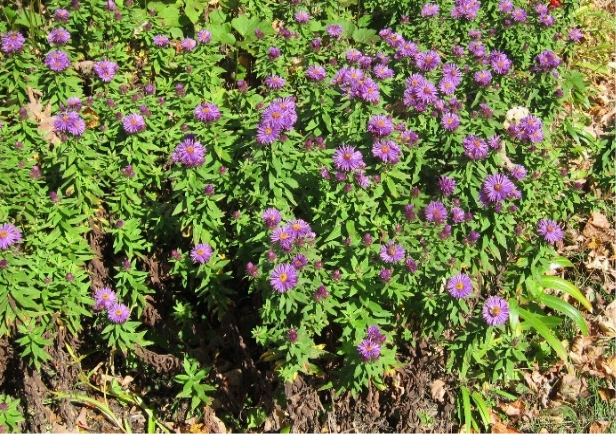 photo of aster flowers