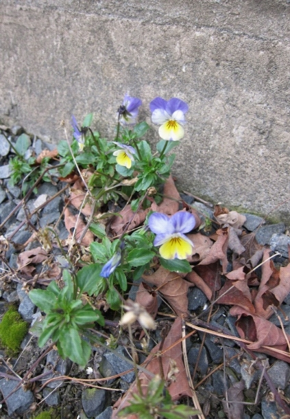 photo of viola flowers in winter garden