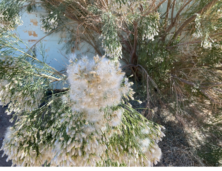 photo of Desert Broom