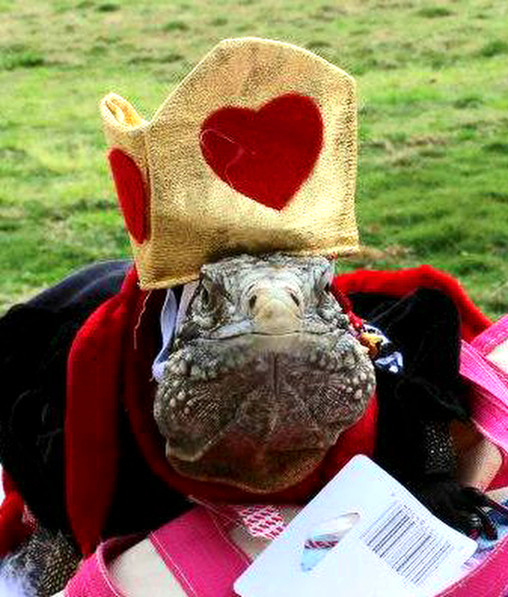 iguana dressed up as queen of hearts