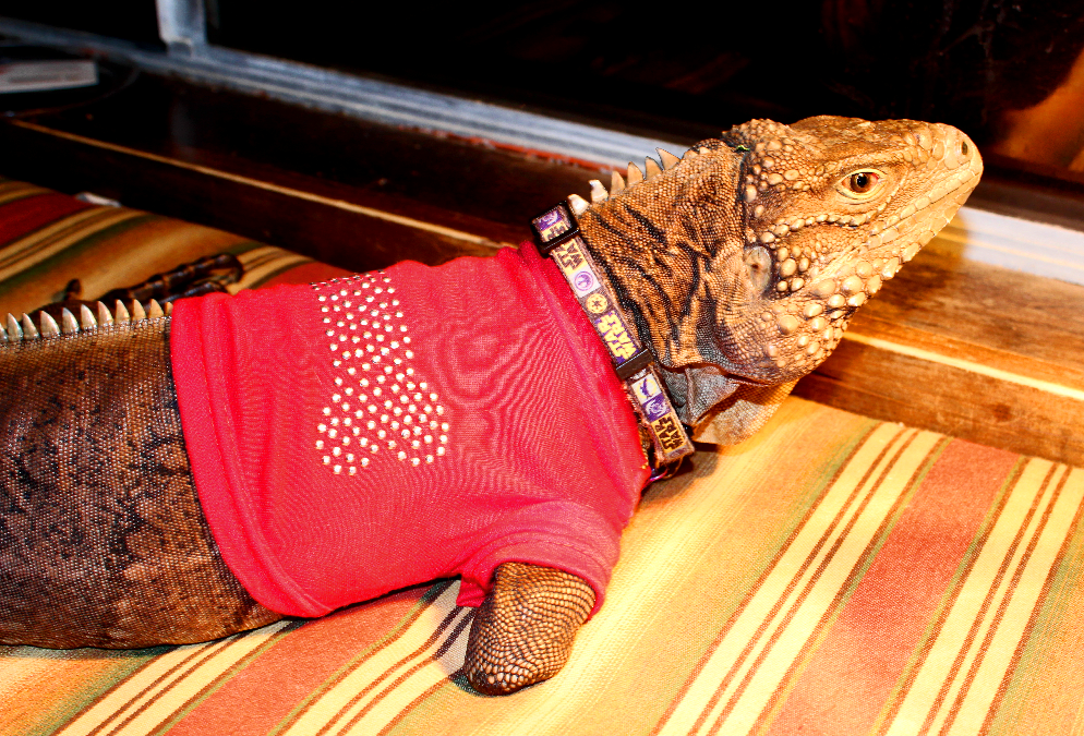 iguana in red shirt