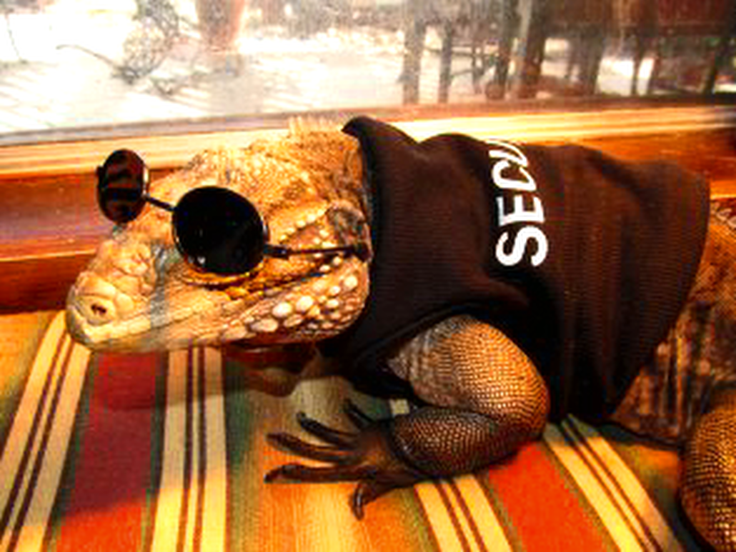 iguana in security uniform