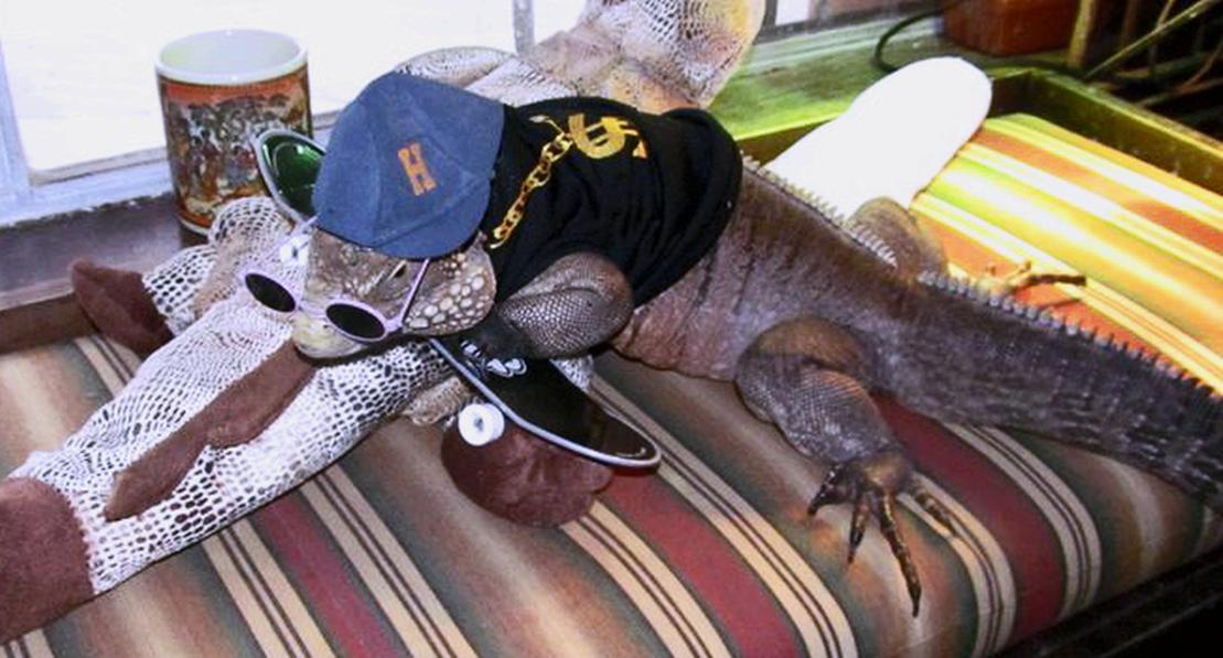 iguana on skateboard