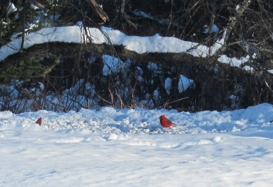 Photo cardinal birds in snow