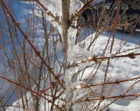 Photo ice encases forsythia branches