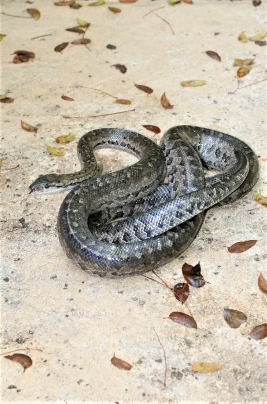 photo of adult New Providence Boa