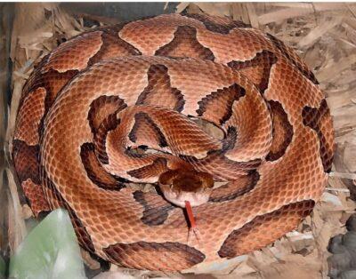 photo copperhead snake